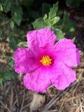 Λουλούδι Jara στοκ εικόνες με δικαίωμα ελεύθερης χρήσης