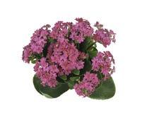 Λουλούδι Kalanchoe Στοκ εικόνες με δικαίωμα ελεύθερης χρήσης