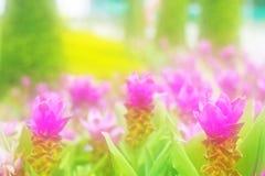 λουλούδι Krachai λουλουδιών τουλιπών του Σιάμ στο πράσινο υπόβαθρο στον κήπο Στοκ Φωτογραφίες