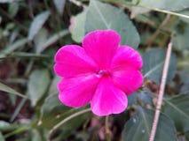 Λουλούδι Kudalu Στοκ Εικόνες