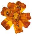 λουλούδι ladybugs Στοκ εικόνα με δικαίωμα ελεύθερης χρήσης