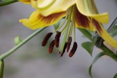 Λουλούδι Lilium ή λουλούδι κρίνων στοκ εικόνες
