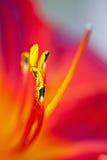 λουλούδι lilly Στοκ Εικόνες