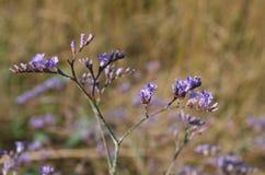 Λουλούδι Limonium Στοκ Φωτογραφίες