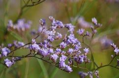 Λουλούδι Limonium Στοκ Εικόνα