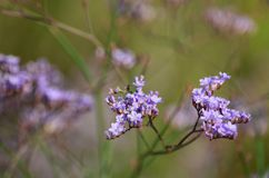 Λουλούδι Limonium Στοκ φωτογραφία με δικαίωμα ελεύθερης χρήσης