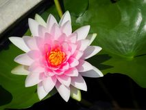 Λουλούδι Lotus ή κρίνος νερού άσπρος και ρόδινος με τα πράσινα φύλλα Υπέροχα ανθίζοντας στη λίμνη SPA που διακοσμεί Στοκ Εικόνες