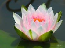 Λουλούδι Lotus ή κρίνος νερού άσπρος και ρόδινος με τα πράσινα φύλλα Υπέροχα ανθίζοντας στη λίμνη SPA που διακοσμεί Στοκ Φωτογραφίες