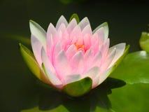 Λουλούδι Lotus ή κρίνος νερού άσπρος και ρόδινος με τα πράσινα φύλλα Υπέροχα ανθίζοντας στη λίμνη SPA που διακοσμεί Στοκ εικόνες με δικαίωμα ελεύθερης χρήσης