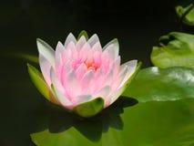 Λουλούδι Lotus ή κρίνος νερού άσπρος και ρόδινος με τα πράσινα φύλλα Υπέροχα ανθίζοντας στη λίμνη SPA που διακοσμεί Στοκ φωτογραφία με δικαίωμα ελεύθερης χρήσης