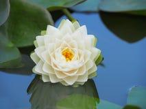 Λουλούδι Lotus ή κρίνος νερού με τα πράσινα φύλλα που ανθίζουν υπέροχα στη λίμνη SPA που διακοσμεί Στοκ φωτογραφία με δικαίωμα ελεύθερης χρήσης