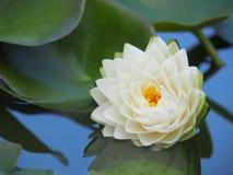 Λουλούδι Lotus ή κρίνος νερού με τα πράσινα φύλλα που ανθίζουν υπέροχα στη λίμνη SPA που διακοσμεί Στοκ Φωτογραφία
