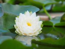 Λουλούδι Lotus ή κρίνος νερού με τα πράσινα φύλλα που ανθίζουν υπέροχα στη λίμνη SPA που διακοσμεί Στοκ Φωτογραφίες
