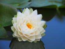 Λουλούδι Lotus ή κρίνος νερού με τα πράσινα φύλλα που ανθίζουν υπέροχα στη λίμνη SPA που διακοσμεί Στοκ Εικόνες
