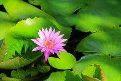 Λουλούδι Lotus ή ρόδινος όμορφος νερού lilly στη φύση Στοκ Φωτογραφία