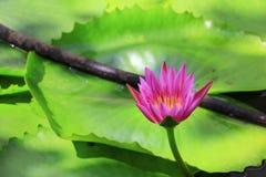 Λουλούδι Lotus ή ρόδινος όμορφος νερού lilly στη φύση Στοκ Εικόνες