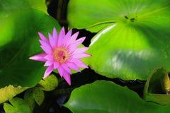 Λουλούδι Lotus ή ρόδινος όμορφος νερού lilly στη φύση Στοκ φωτογραφία με δικαίωμα ελεύθερης χρήσης