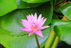 Λουλούδι Lotus ή ρόδινος όμορφος νερού lilly στη φύση Στοκ Φωτογραφίες