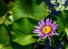 Λουλούδι Lotus με το φως του ήλιου το πρωί Στοκ φωτογραφία με δικαίωμα ελεύθερης χρήσης