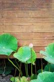 Λουλούδι Lotus που ανθίζει εκτός από τον παλαιό ξύλινο τοίχο Στοκ φωτογραφία με δικαίωμα ελεύθερης χρήσης