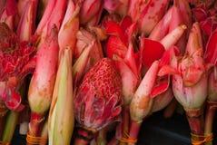 Λουλούδι Lotus που ανοίγει το λουλούδι λωτού λουλουδιών λωτού που ανοίγει τα πέταλά του Στοκ εικόνα με δικαίωμα ελεύθερης χρήσης