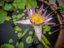 Λουλούδι Lotus στο βάζο αγγειοπλαστικής στοκ εικόνες