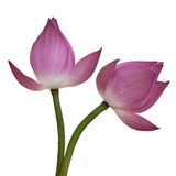 Λουλούδι Lotus Στοκ Εικόνα