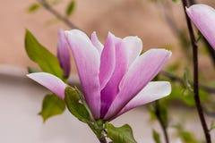 Λουλούδι Magnolia στο δέντρο Στοκ Φωτογραφίες
