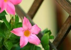 Λουλούδι Mandevilla Στοκ Εικόνα