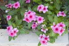 Λουλούδι Mirabilis Στοκ εικόνες με δικαίωμα ελεύθερης χρήσης