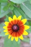 Λουλούδι Mum Στοκ Εικόνα
