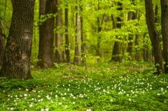 Λουλούδι nemorosa Anemone στο δάσος στην ηλιόλουστη ημέρα Το ξύλινο anemone, windflower, Στοκ φωτογραφία με δικαίωμα ελεύθερης χρήσης