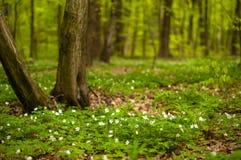 Λουλούδι nemorosa Anemone στο δάσος στην ηλιόλουστη ημέρα Το ξύλινο anemone, windflower, Στοκ Φωτογραφία