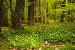 Λουλούδι nemorosa Anemone στο δάσος στην ηλιόλουστη ημέρα Το ξύλινο anemone, windflower, Στοκ φωτογραφίες με δικαίωμα ελεύθερης χρήσης
