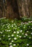 Λουλούδι nemorosa Anemone στο δάσος στην ηλιόλουστη ημέρα Το ξύλινο anemone, windflower, Στοκ Φωτογραφίες