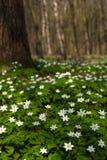 Λουλούδι nemorosa Anemone στο δάσος στην ηλιόλουστη ημέρα Το ξύλινο anemone, windflower, Στοκ εικόνα με δικαίωμα ελεύθερης χρήσης