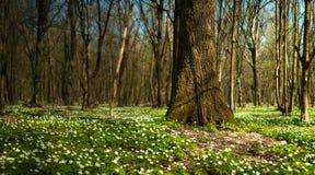 Λουλούδι nemorosa Anemone στο δάσος στην ηλιόλουστη ημέρα Το ξύλινο anemone, windflower, Στοκ εικόνες με δικαίωμα ελεύθερης χρήσης