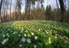 Λουλούδι nemorosa Anemone στο δάσος στην ηλιόλουστη ημέρα Στοκ Φωτογραφίες