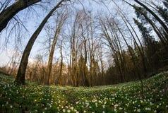 Λουλούδι nemorosa Anemone στο δάσος στην ηλιόλουστη ημέρα Στοκ φωτογραφίες με δικαίωμα ελεύθερης χρήσης