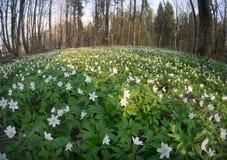 Λουλούδι nemorosa Anemone στο δάσος στην ηλιόλουστη ημέρα Στοκ εικόνα με δικαίωμα ελεύθερης χρήσης