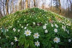 Λουλούδι nemorosa Anemone στο δάσος στην ηλιόλουστη ημέρα Στοκ Εικόνα