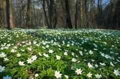 Λουλούδι nemorosa Anemone στο δάσος στην ηλιόλουστη ημέρα Στοκ φωτογραφία με δικαίωμα ελεύθερης χρήσης