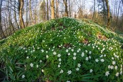 Λουλούδι nemorosa Anemone στο δάσος στην ηλιόλουστη ημέρα Στοκ εικόνες με δικαίωμα ελεύθερης χρήσης