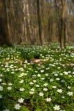 Λουλούδι nemorosa Anemone στο δάσος στην ηλιόλουστη ημέρα Στοκ Εικόνες