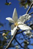 Λουλούδι obovata Magnolia στον εθνικό βοτανικό κήπο Gryshko σε Kyiv, Ουκρανία Στοκ Εικόνα