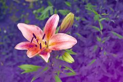 Λουλούδι odorata της Lilia στην ασυνήθιστη μπλε-και ιώδη παλέτα νέου στον κήπο Χρώμα 2018 Panton στοκ φωτογραφίες
