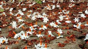 Λουλούδι Parijatha στοκ φωτογραφία με δικαίωμα ελεύθερης χρήσης
