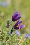 λουλούδι pasque Στοκ Φωτογραφίες