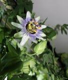 Λουλούδι Passionflower Στοκ Εικόνα