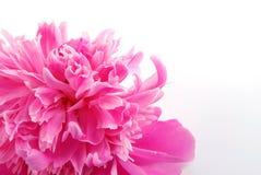 λουλούδι peony Στοκ εικόνες με δικαίωμα ελεύθερης χρήσης
